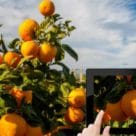 Italian oranges tracked via Almaviva NFC tags and app